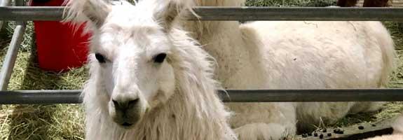 Llama/Alpaca Show